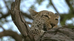 Leopard, panthera pardus, Female, Moremi Reserve, Okavango Delta in Botswana Stock Footage