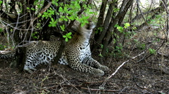Leopard, panthera pardus, Female Yawning, Moremi Reserve, Okavango Delta  Stock Footage