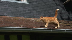 Red Tabby Domestic Cat walking on Roof, Normandy, Real Time Stock Footage