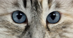 White and Seal Tabby Point Siberian Domestic Cat, Female against White Stock Footage