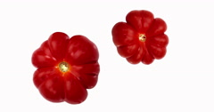 Camone Tomatoes, solanum lycopersicum, Vegetable against White Background, Real Stock Footage