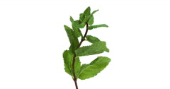 Mint, mentha sp. against White Background, Real Time 4K, Moving image Stock Footage