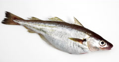 Fresh Whiting, merlangius merlangus, Fish against White Background, Real Time Stock Footage