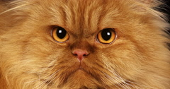 Red Self Persian Domestic Cat laying against Black Background, Real Time 4K Stock Footage