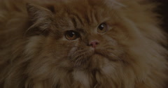Red Persian Domestic Cat, Real Time 4K, Moving Image Stock Footage