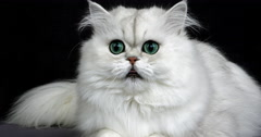 Chinchilla Persian Domestic Cat, Portrait of Adult with Green Eyes, Real Time Stock Footage