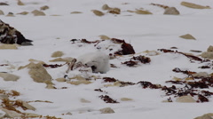 White arctic fox chewing on dead goose leg buried in snow Stock Footage