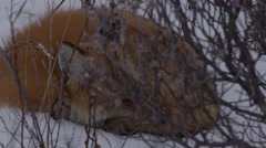 Red fox perks black ears while sleeping in snowy willows Stock Footage