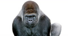 Eastern Lowland Gorilla, gorilla gorilla graueri, Male against White Background, Stock Footage