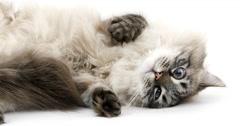 Neva Masquerade Siberian Domestic Cat, Seal Tabby Point Colour Stock Footage