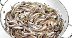 Fresh Smelts, osmerus eperlanus into Dish Drainer against White Background, Real Stock Footage