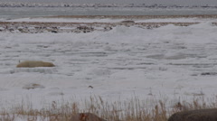 Polar bear slowly makes way across broken ice and snow Stock Footage