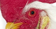 Leghorn Domestic Chicken, Portrait of Cockerel against White Background Stock Footage