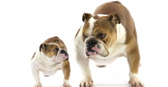 English Bulldog, Female against White Background, Real Time 4K, Moving Image Stock Footage