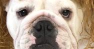 English Bulldog, Female against White Background, Real Time 4K, Moving Image Stock Footage