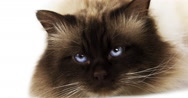 Chocolate Birmanese Domestic Cat against White Background, Real Time 4K, Moving Stock Footage