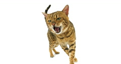 Brown Spotted Tabby Bengal Domestic Cat standing against White Background, Real Stock Footage