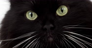 Black and White Siberian Domestic Cat, Female, Real time 4K, Moving image Stock Footage