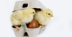Chicks in Eggbox against White Background, Real Time 4K, Moving image Stock Footage