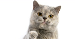 Blue Cream British Shorthair Domestic Cat, Portrait of Female against White Stock Footage