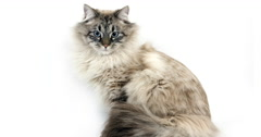 Seal Tabby Point Neva Masquerade Siberian Domestic Cat, Adult against White Stock Footage