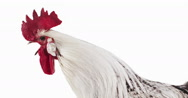 Brakel or Braekel Chicken, a Belgian Breed, Cockerel against White Background, Stock Footage