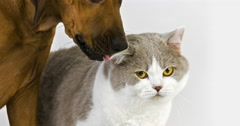 Male British Shorthair Lilac and White with a Rhodesian Ridgeback  Stock Footage
