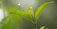 Rain falling From Leaf, Normandy, Slow motion 4K Stock Footage