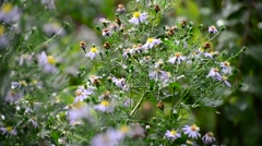 Perennial asters in rain in summer Stock Footage