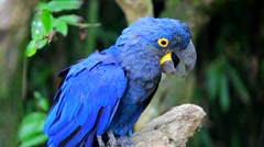 Beautiful Hyacinth Macaw Perched On Tree Branch Stock Footage