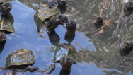 Turtles swim in pond, look at camera waiting for food Stock Footage