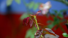 Rose Plant With Bud In The Rain Stock Footage