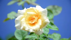 Beautiful White Rose In The Rain Stock Footage