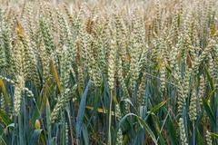 Wheat field. Ears of wheat close up. Background of ripening ears of meadow wh Kuvituskuvat
