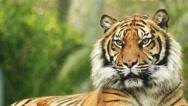 Bengal tiger (Panthera tigris) Stock Footage