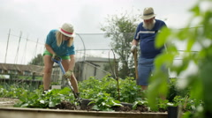 4K Gardeners working together in community allotment, woman digging up the soil Stock Footage