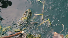 Green Frog Sitting in the River near the Lilies Stock Footage