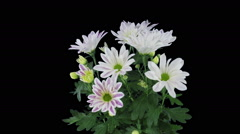 Time-lapse of opening white-pink chrysanthemum flower in RGB + ALPHA matte Stock Footage