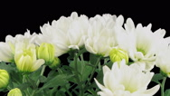 Time-lapse of opening white chrysanthemum flower in RGB + ALPHA matte format Stock Footage