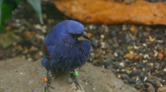Blue grosbeak (Passerina caerulea) Stock Footage