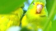Mountain parakeet (Psilopsiagon aurifrons) Stock Footage