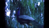 1963: beautiful majestic peacock with long blue neck CALIFORNIA Stock Footage