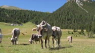Cows on the green field. Cows grazing in Alps. Italy Stock Footage