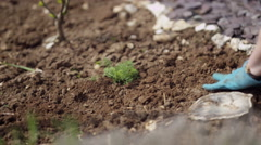4K Close up on hands of gardener digging weeds out from the soil Stock Footage