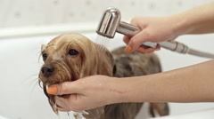 Groomer Washing Yorkshire Terrier Dog Stock Footage