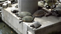 Turtles sunbathing on concrete structure. Animals in urban life Stock Footage