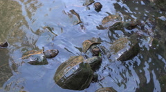 Feeding turtles in temple pond Stock Footage