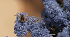 Honey Bee, apis mellifera, Adult in Flight, Flying to Flower with Pollen Arkistovideo