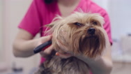 Pampering York Puppy in Salon Stock Footage