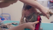 Woman Giving a Trim to York Puppy Stock Footage